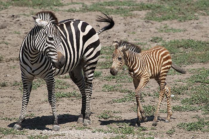 zebra con mutaciones