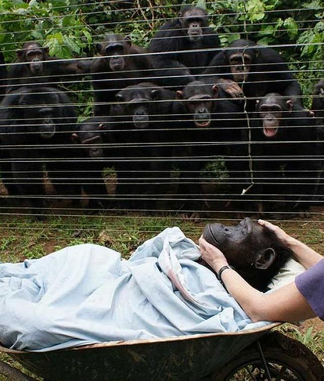 Chimpance muerto llevado en camilla mientras los demás miran