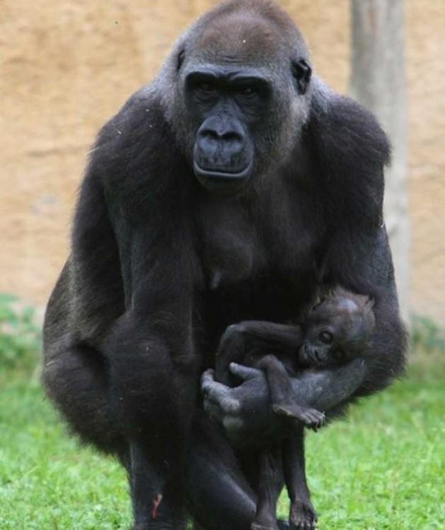 Gorila con hijo muerto caminando