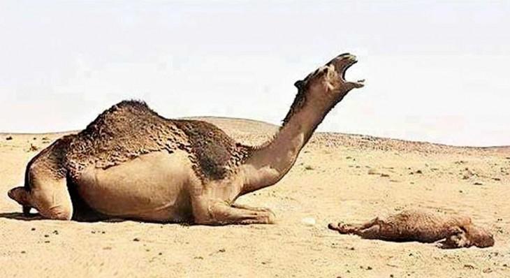 madre camello al lado de su cria muerta