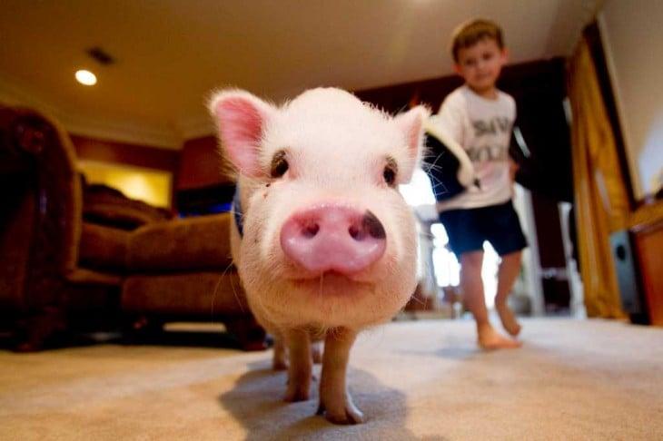 cerdo con un muchacho en la sala