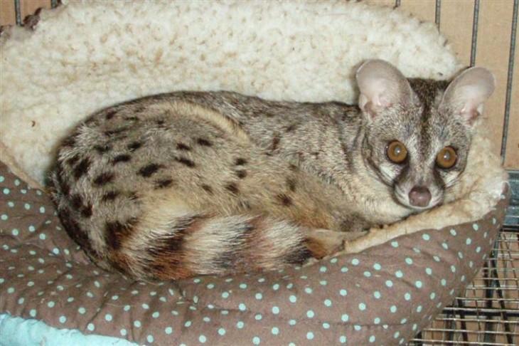 gato almizclero acostado en una cama