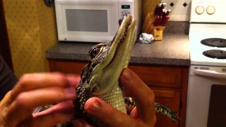 un bebe cocodrilo en las manos de una persona