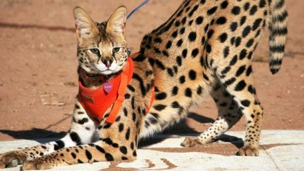 serval con correa roja en el cuello