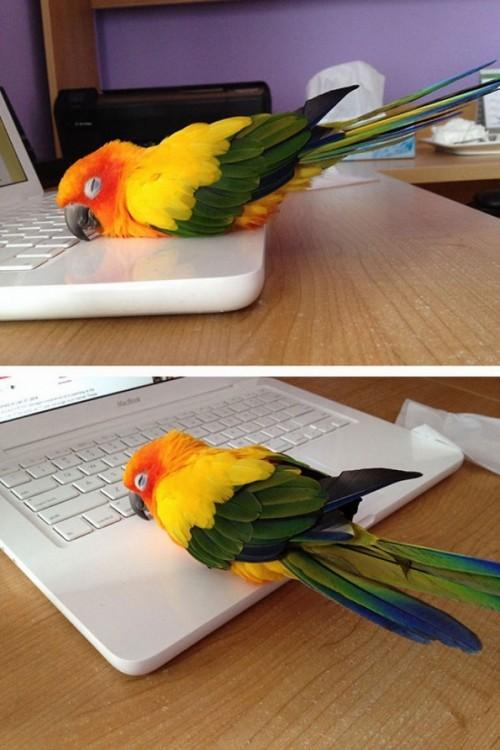 lorito calentándose con la computadora
