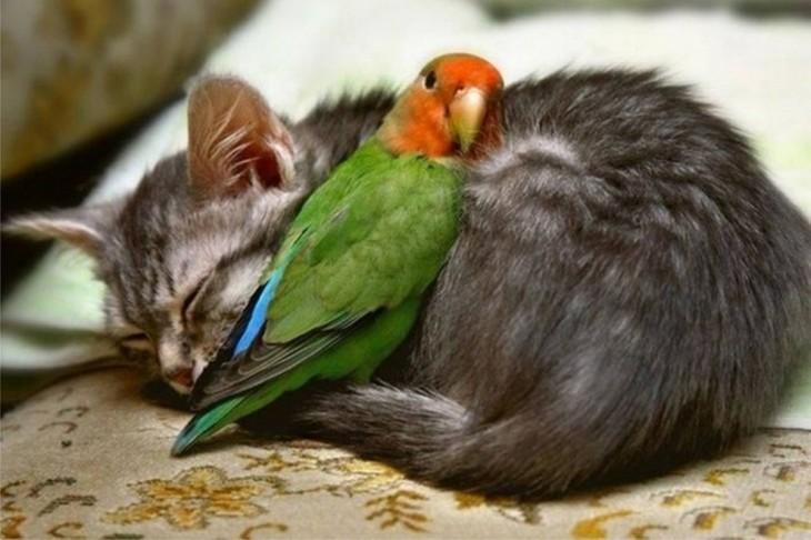 lorito se calienta con el gato