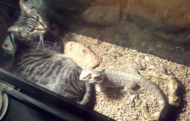 gato adentro de la jaula del lagarto