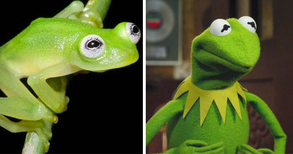rana de verdad y la rana rene