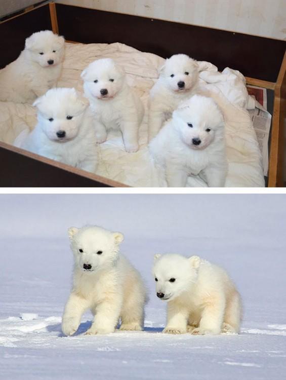 cachoritos y osos polares