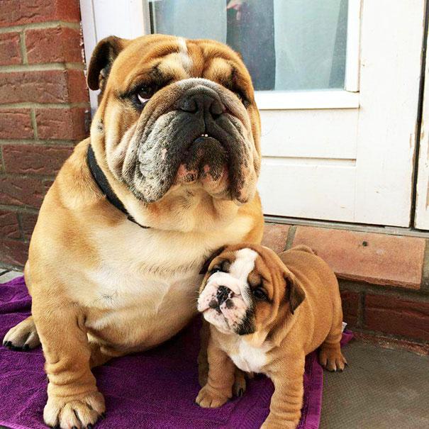 padre  bulldog con  hijo en la puerta