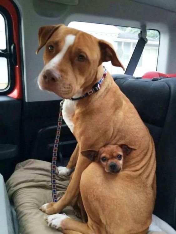 pitbull y un  chihuahua sentados en un carro