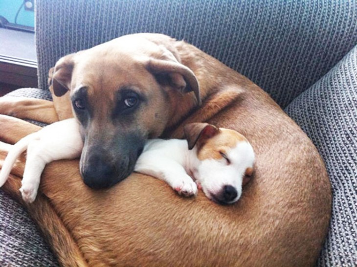 perro mas grande abraza y duerme a un cachorrito