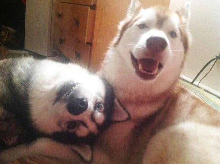 dos husky  con caras chistosas