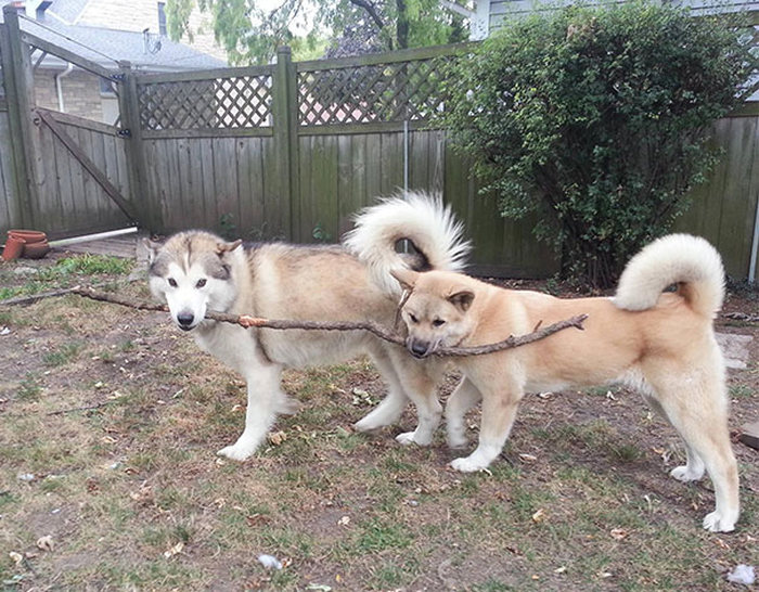 huskies con una rama en la boca