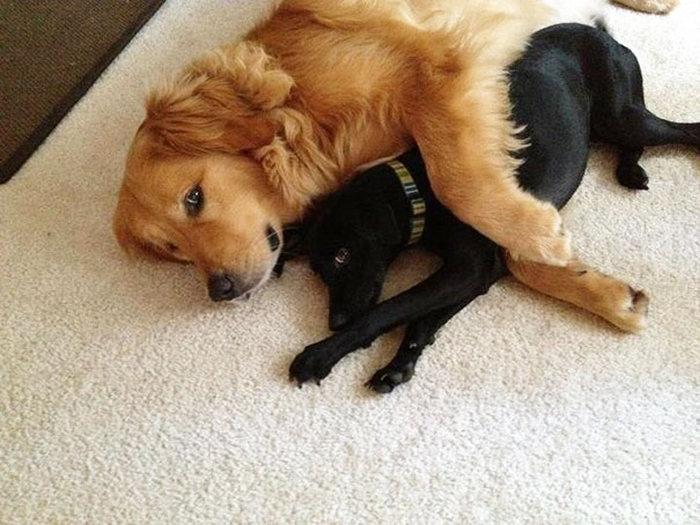 perro dorado abrazando a cachorro nerito en una alfombra