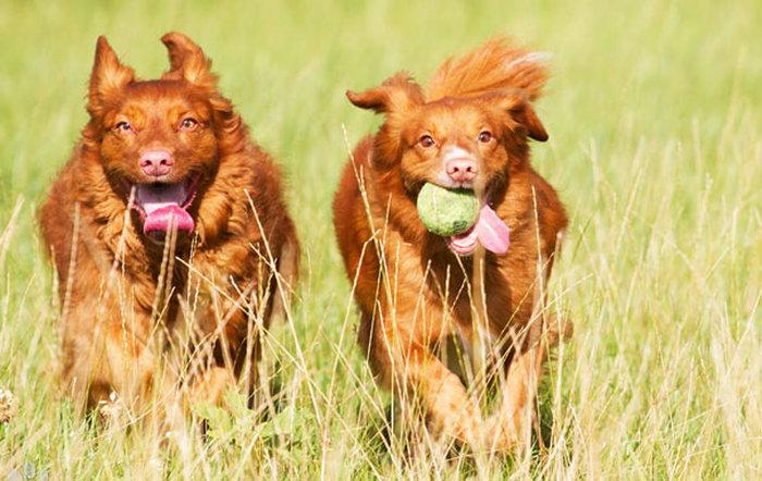 dos perros jugando con una pelota de tennis