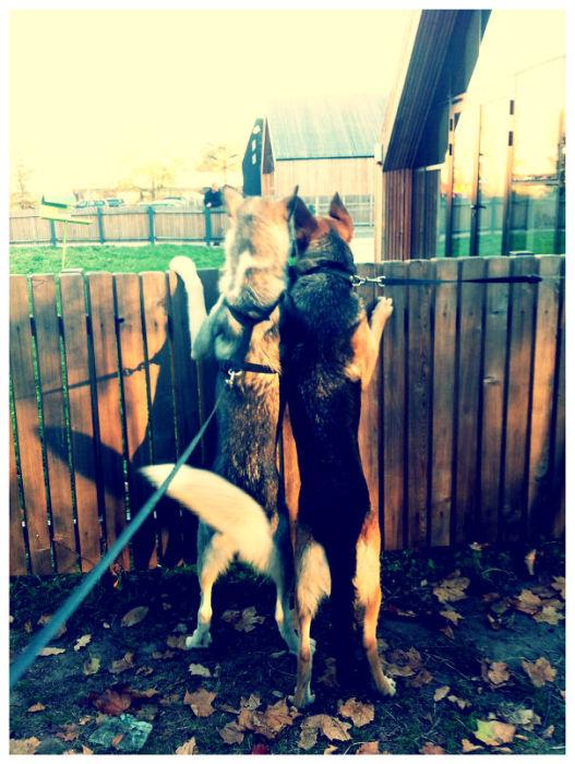 Dos pastores alemanes mirando hacia el jardín del vecino
