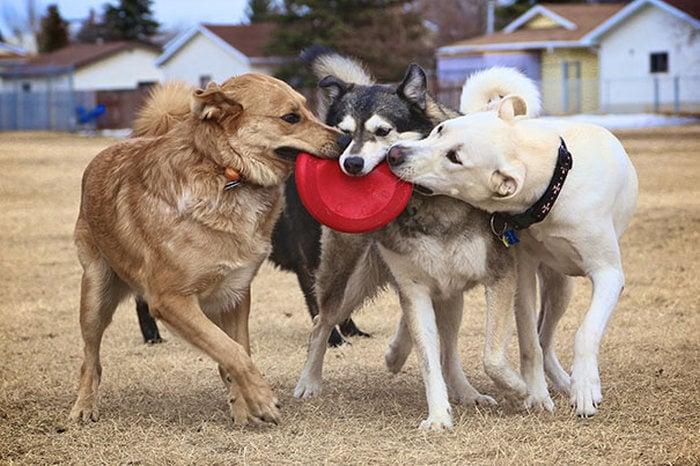 tres perros jugando con un disco