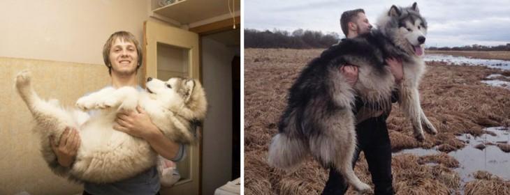 perro husky crecido con el muchacho agarrandolo