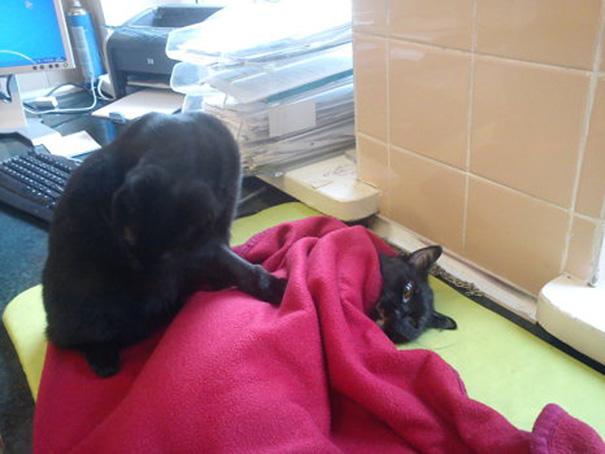 gato enfermero de polonia