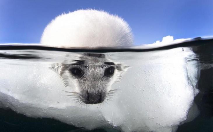 foca con al cabeza en el agua