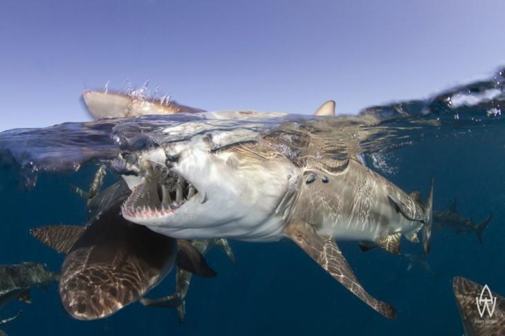 tiburones mordiendose entre ellos