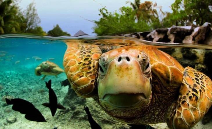 tortuga nadando en aguas cristalina
