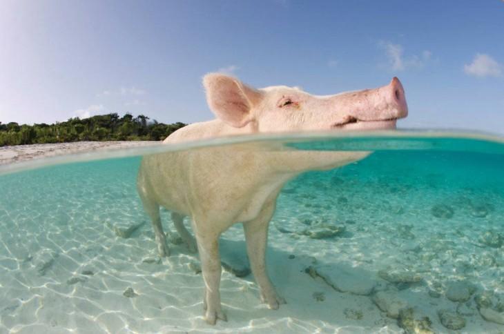 cerdo en el agua