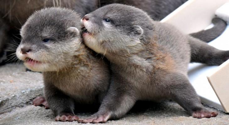 ds bebes nutrias besandose