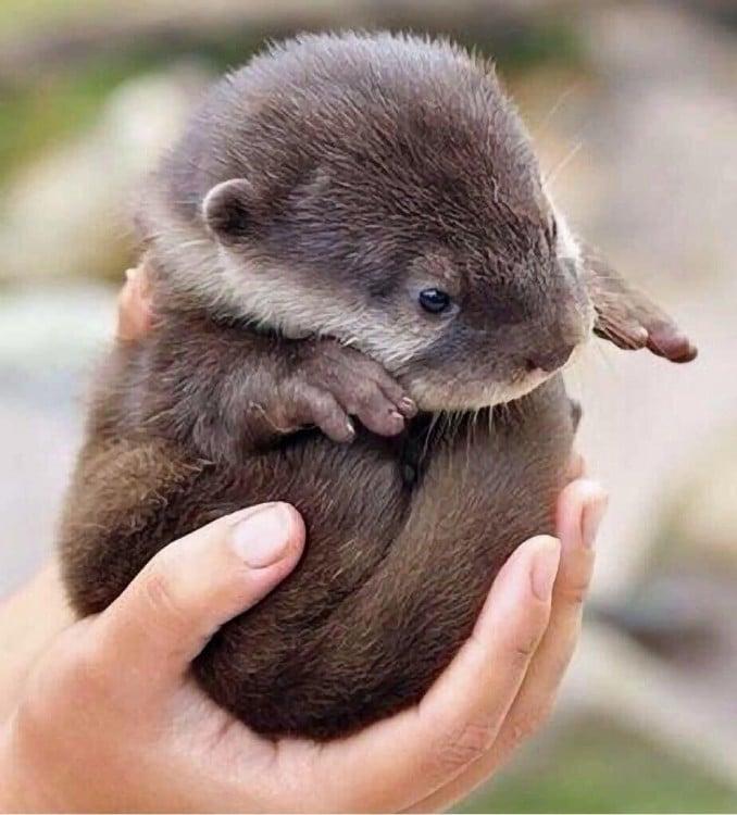 hermosa bebe nutria