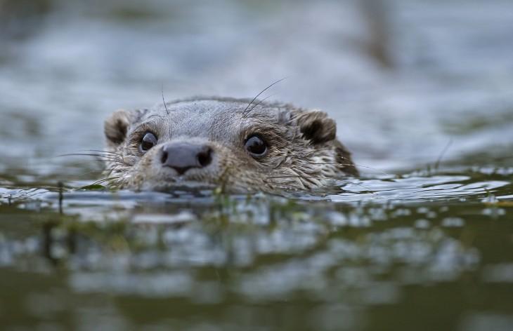 nutria nadando