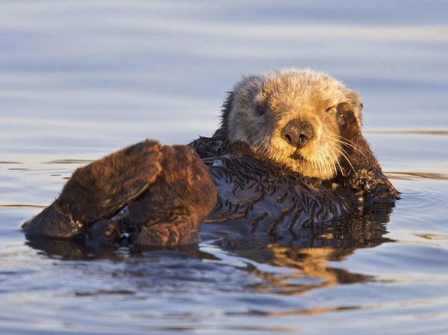 nutria nadando en el mar