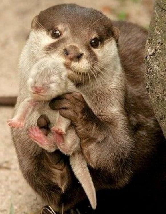 madre nutria con su hijo