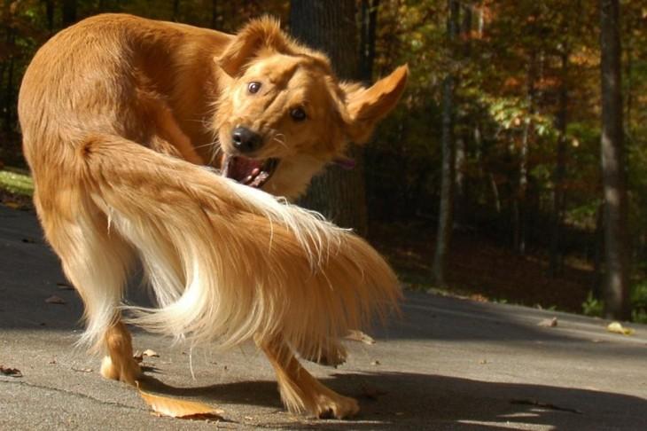 perro corriendo su cola