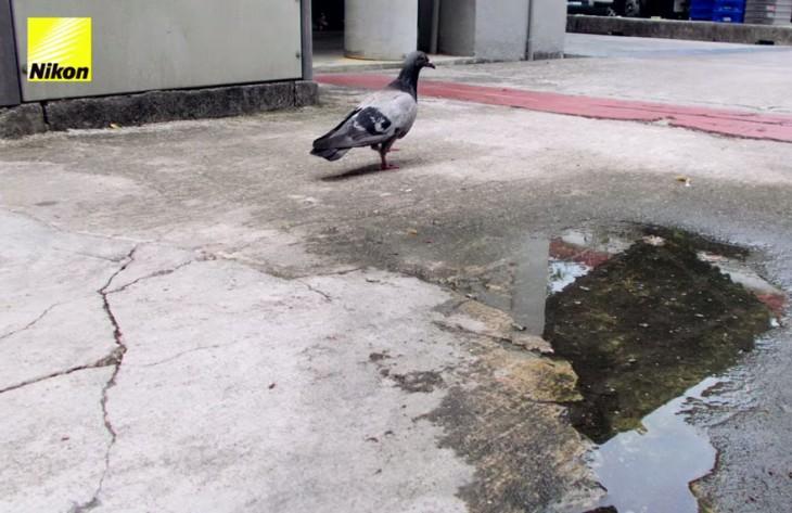 paloma caminando en la calle