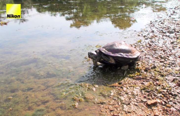tortuga entrando a un rio