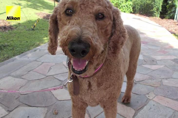 perro marrón parado con la boca abierta