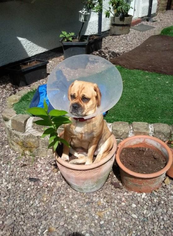 perro boxer sentado en una maceta