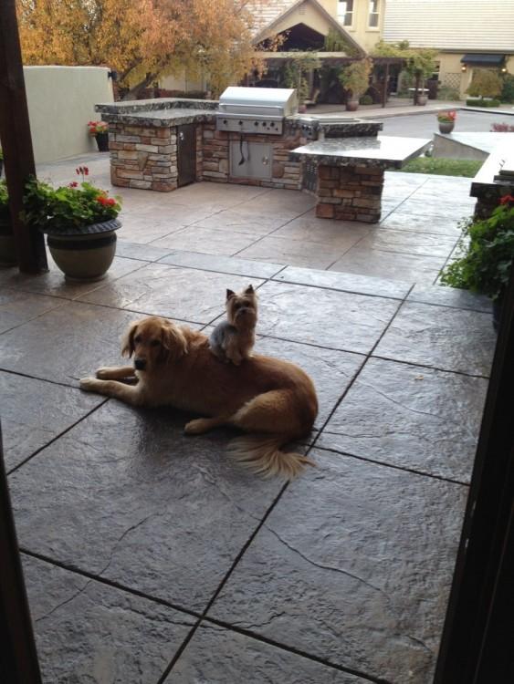 perro caniche sentado arriba de perro golden