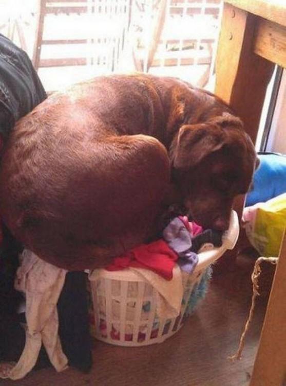 perro retriever negro sentado en un canasto