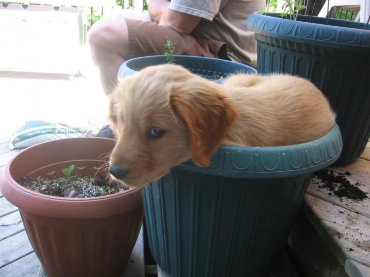 cachorro de golden sentado adentro de una maceta