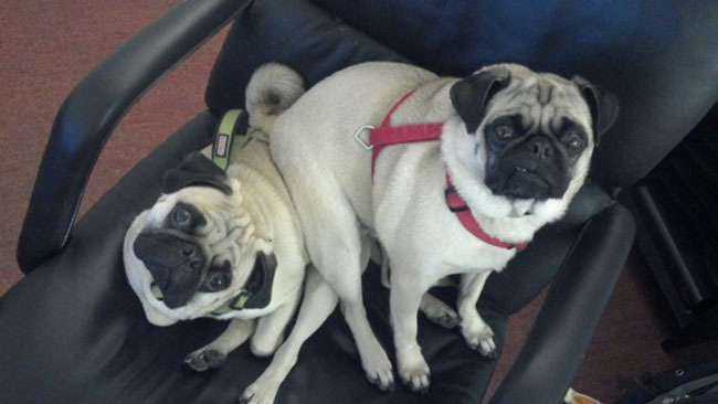 perros pug sentados uno arriba del otro