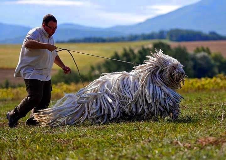 perro peludo corriendo en la pradera