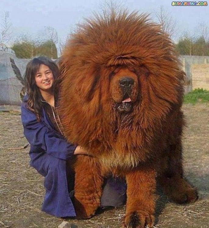 perro enorme parece leon