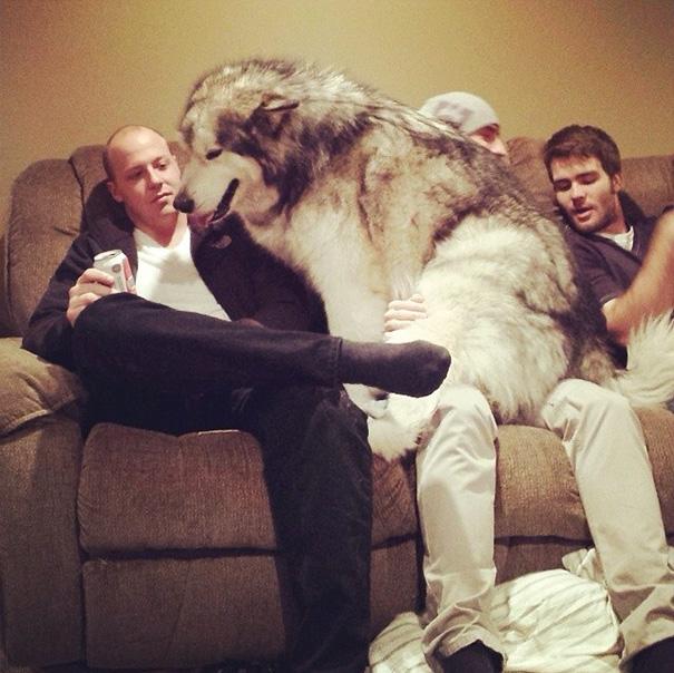 husky en sofa con 2 hombres