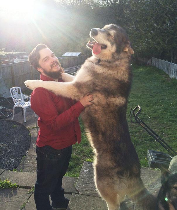 husky arriba de un hombre