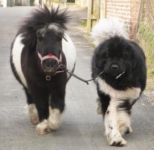 perro pasea a un pony