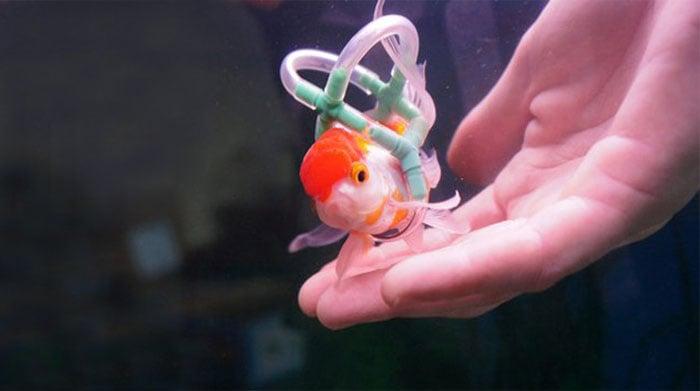 pez dorado en silla de rueda