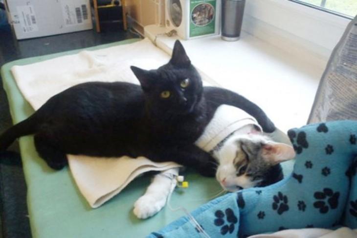 gato ayuda a gato convaleciente después de una cirugía