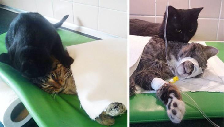 el gato enfermero le da masajes a otro gatito y lo abraza